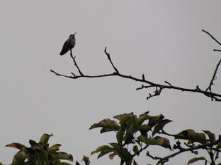 Anna's hummingbirds