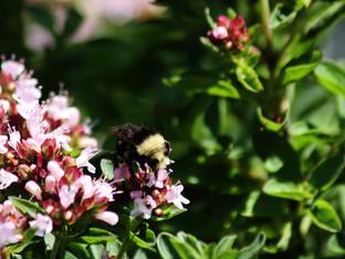 Yellow-face Bumble Bee