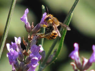 The Wool Carder Bee