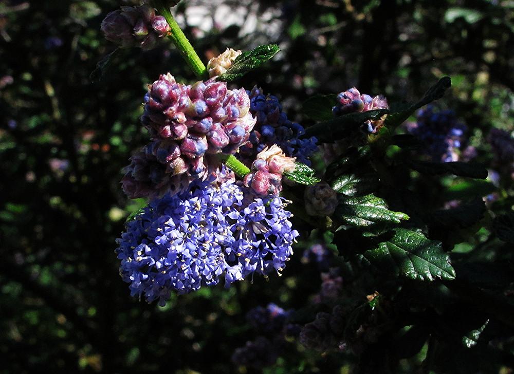 ceanothus in bloom_edited.JPG