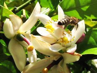 Lemon Tree White Fly blight under control!
