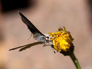 The popular, humble dandelion