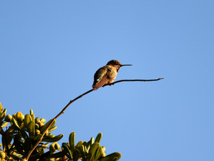 Hummingbird's favorite evening perch