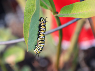 Last Monarch Caterpillars of the Season