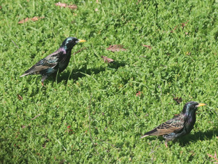 Starlings foraging in the yard