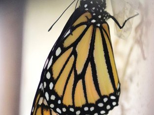 First monarch to eclose