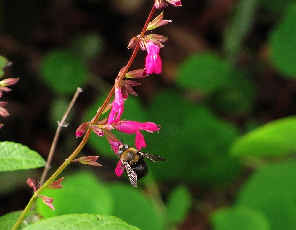 carpenter bee on Schiapensis salvia_edited.JPG
