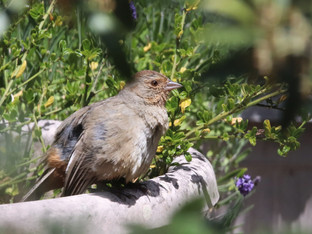 California Towhee fledgling visiting