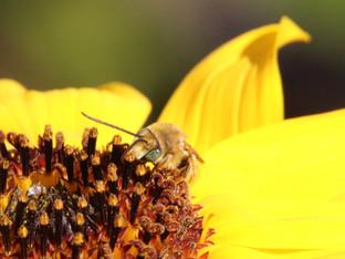 Summer Long-Horned Bee on California Delta Sunflower