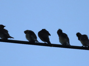 Cedar Waxwings on the utility cables