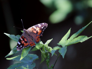 Painted Lady resting in late afternoon sun