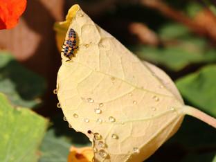 Ladybugs working hard around the patio