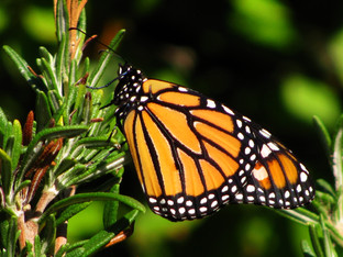 Monarch male released yesterday