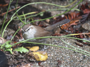 Bewick's wren and a dandelion plant