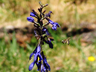 An Ivory Banded Digger Bee and the Indigo Spires Salvia plant