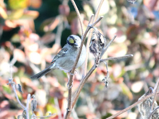 Golden-crowned Sparrows in the Garden