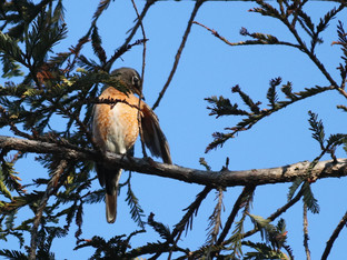 American robins are back