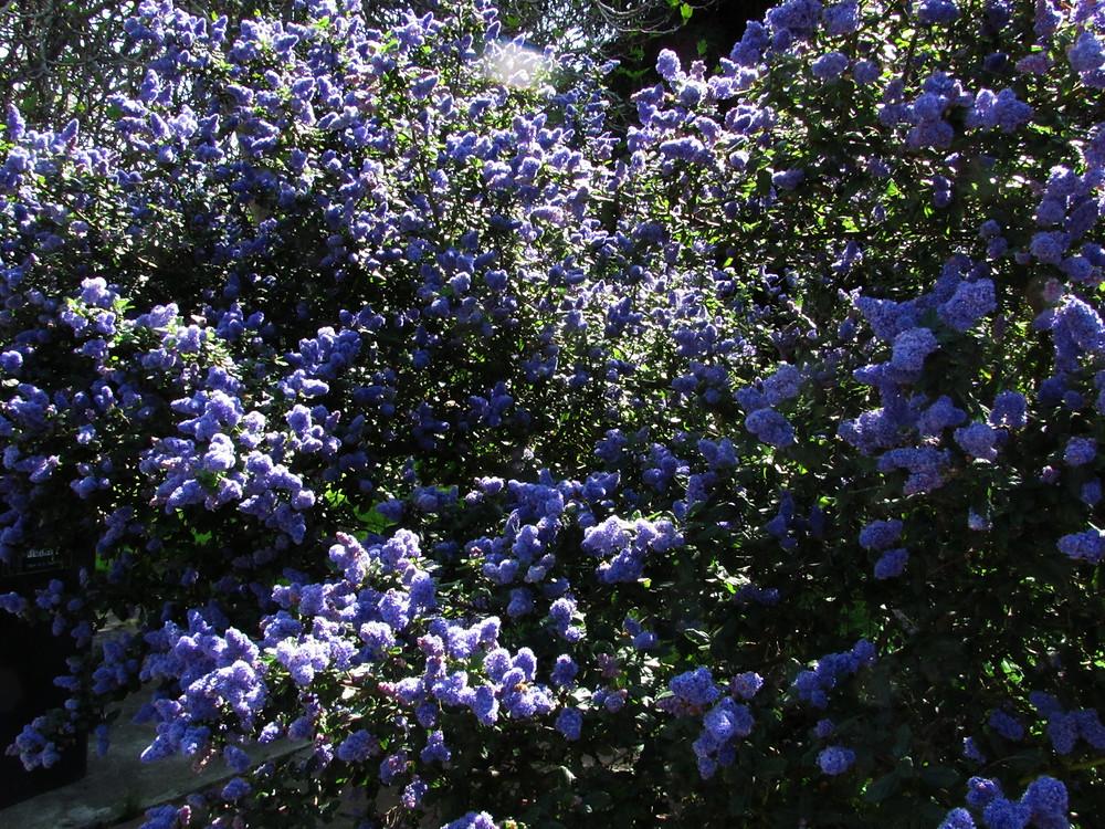 ceabothus shrub_edited.JPG