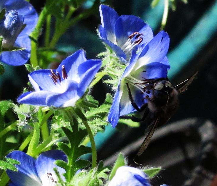 carpenter bee on baby blue eyes_edited_edited.JPG