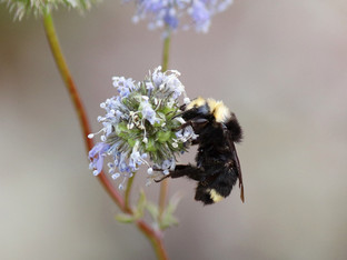 Yellow-Faced Bumble Bee on a Blue Thimble Flower