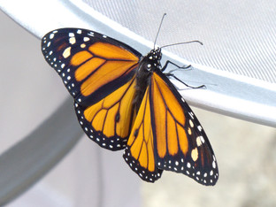 Success with two male monarchs