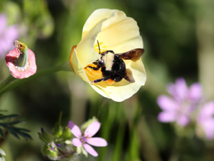 Yellow-Faced Bumble Bees in the White California Poppies