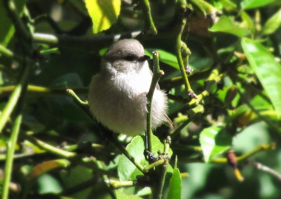 baby bushtit in lemon tree 5_edited.JPG