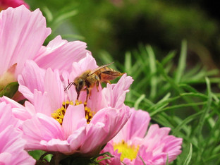 Honey bees in the morning