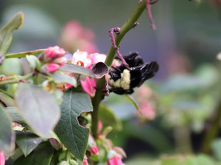 Yellow-Faced Bumble Bee pollinating the Sunshine Blueberries