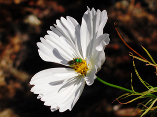 Ultra Green Sweat Bees in the Cosmos Cupcake White blossoms