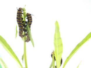 More Monarch Caterpillar Fun