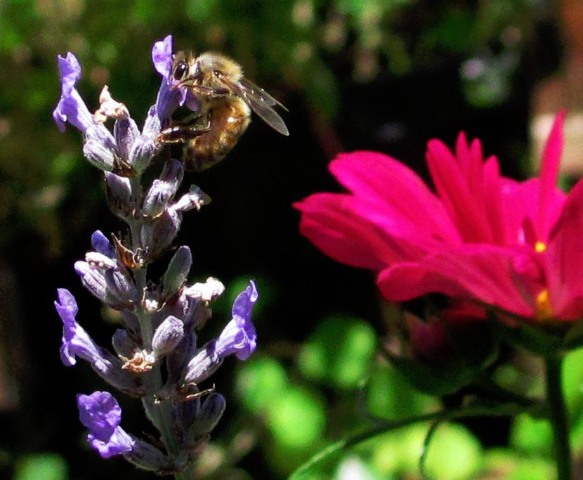 honeybee on lavender 2013 a_edited.jpg