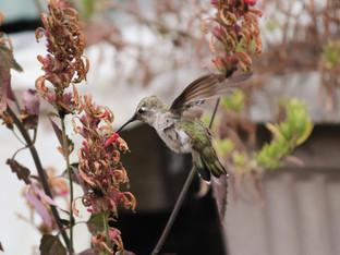 Anna's hummingbird sipping