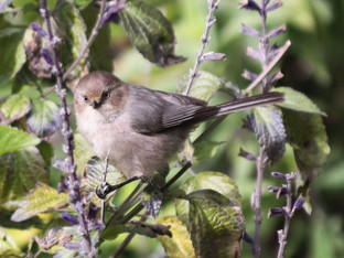 Brown-eyed bushtit on the salvia shrub