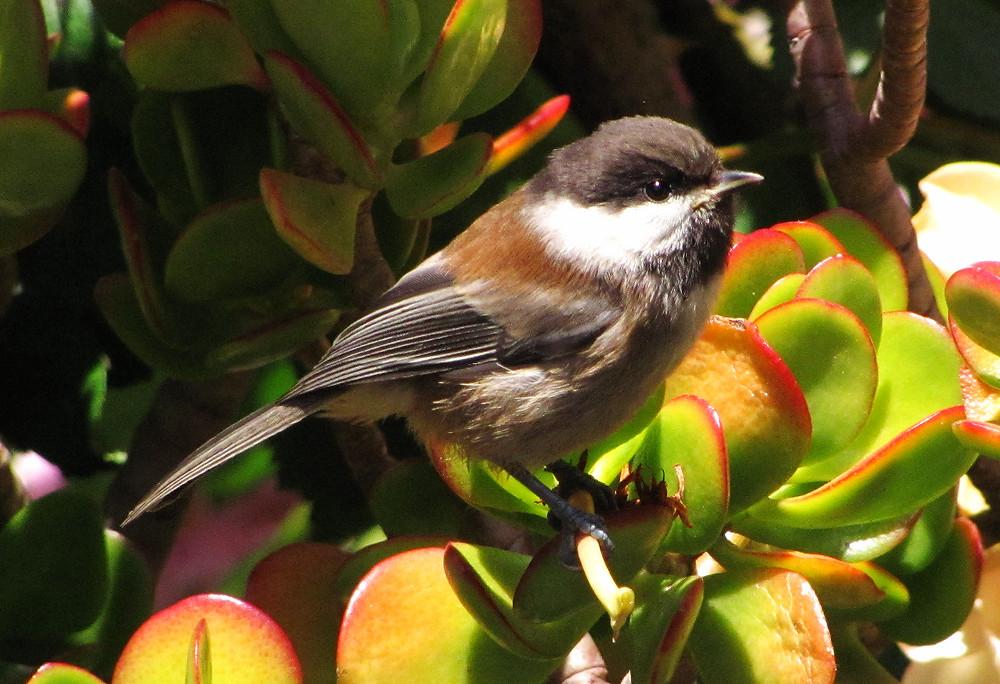 Chickadee fledgling on the Jade plant_edited.JPG