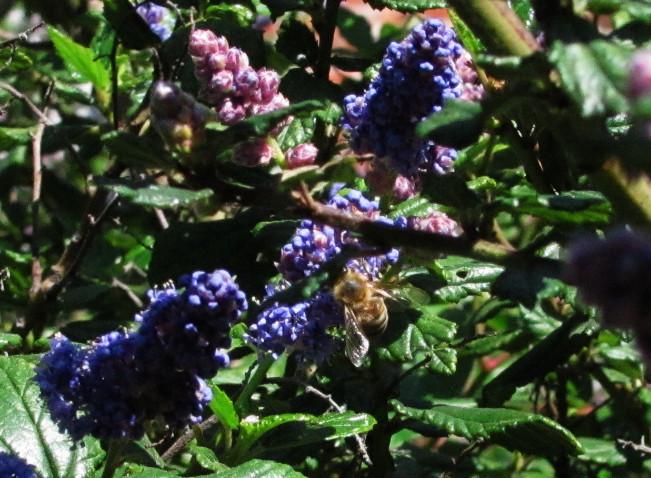 honeybee in ceanothus shrub_edited.JPG