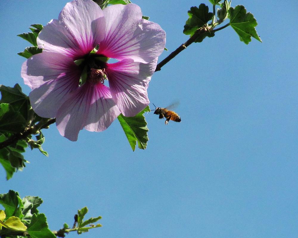 honeybee and lavatera flower a_edited.JPG