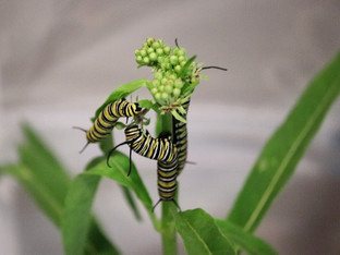 Life with the monarch caterpillars