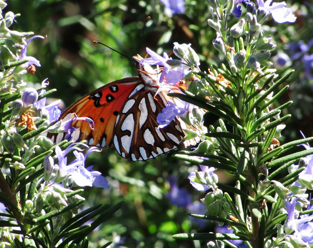Gulf fritillary butterfly f_edited.JPG