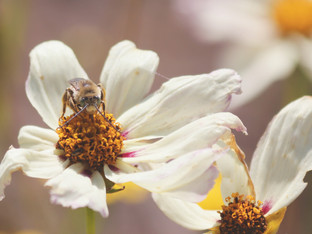 The Long-Horned Bees are back