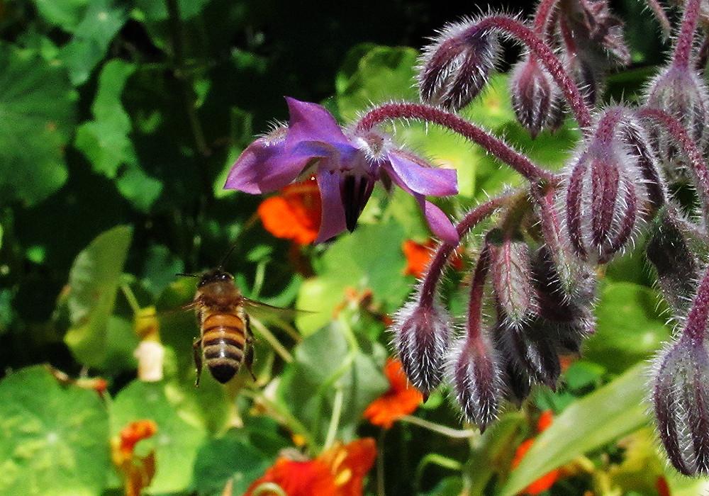 bee flying to borage flower_edited.JPG