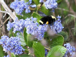 Yellow Faced Bumble Bee in the Ray Hartman ceanothus