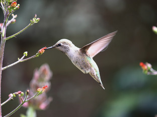 Anna's Hummingbird sipping from a California Figwort blossom