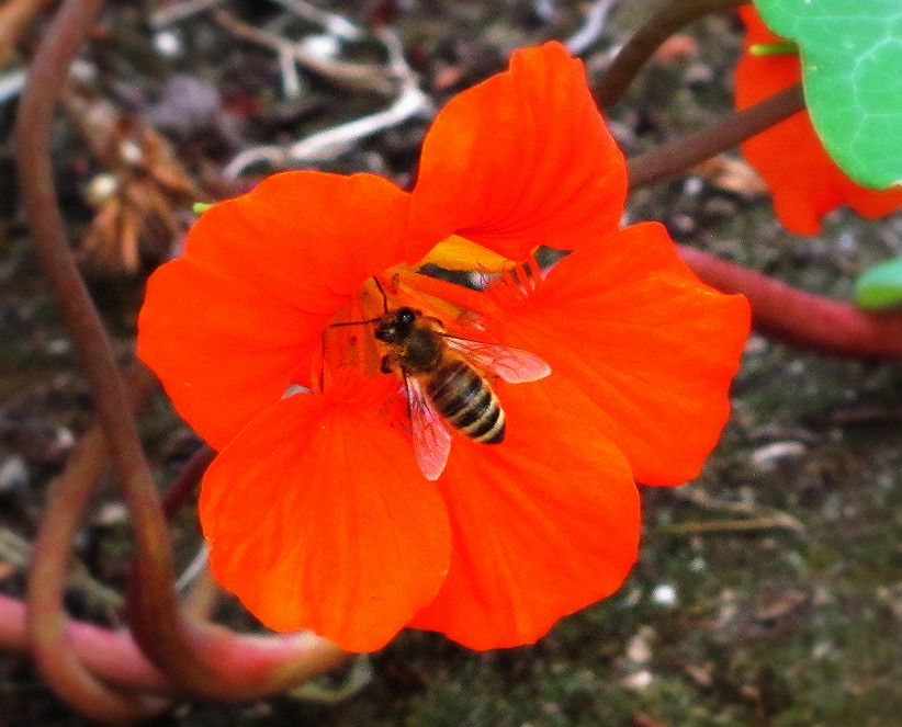 honey bee on nasturtium_edited.JPG