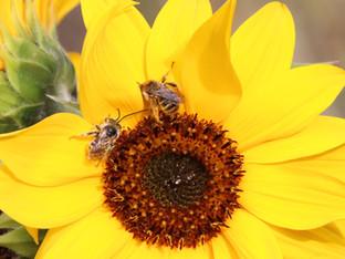 Sleeping Summer Long-horned bees
