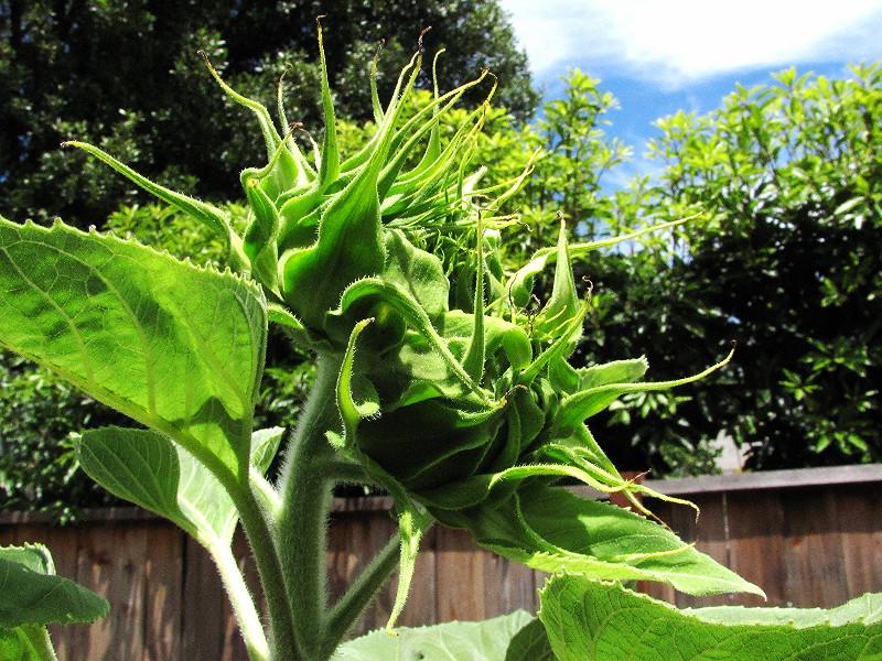 2 mammoth sunflower buds profile_edited.JPG