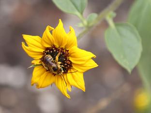Pollinators in the heat
