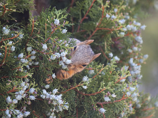 Red Squirrel and the Juniper Berries