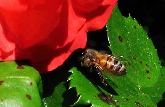 honey bee cleaning marmalade skies leaf 2_edited.JPG