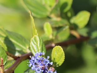 Winter blooms on the Ray Hartman Ceanothus